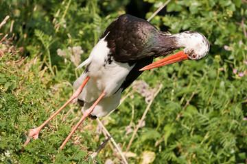 Black stork closeup twisted