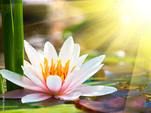 Fototapety, obrazy : beautiful water lily in the light