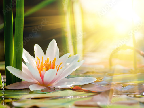 Foto op Canvas Water planten beautiful water lily in the light