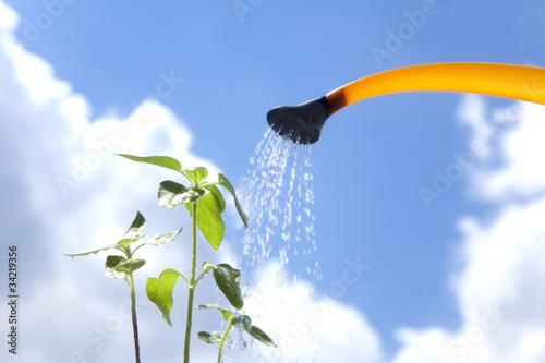 ひまわりの苗へ水やり