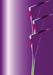 violet calla  9