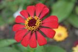 fiore rosso in giardino, Transylvania poster