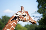 Giraffe with funny leaf in snout poster