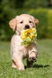Fototapety Golden Retriever Welpe mit Blume