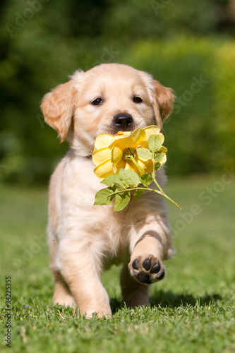 Foto op Canvas Dragen Golden Retriever Welpe mit Blume