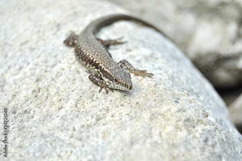 Lizard on a grey stone