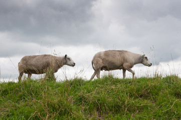 Two sheep walking in a row on a Dutch dike and  cloudy weather