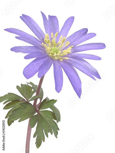 Anemon kwiat. Izolowany na białym tle.