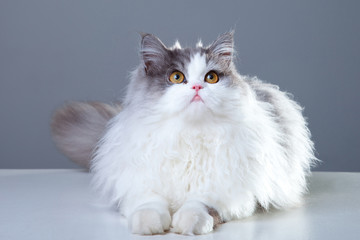 Persian cat lying on grey background