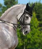 Equestrian sport - portrait of dressage gray horse poster