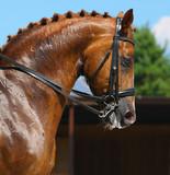 Equestrian sport - portrait of dressage horse poster