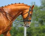Equestrian sport - portrait of relaxation horse poster