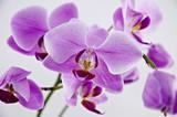 Fototapety Орхидея