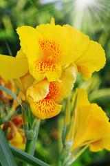Canna Flower Petals