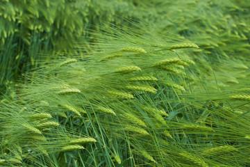 Barley field in summer day