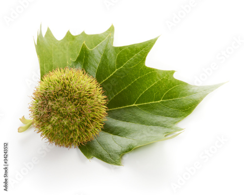 Foto: Frucht einer Platane