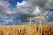 Field of Barley with cloudy sky before harvest
