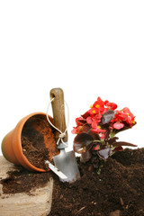 Planting a begonia