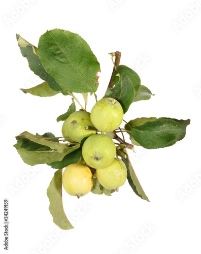 Apple-tree branch