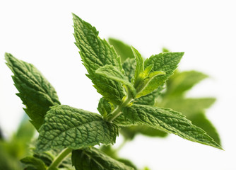 Mentha piperita, mint