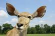 kudu antilope à grandes oreilles