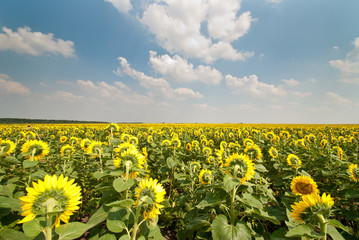 Beautiful sunflowers in the field