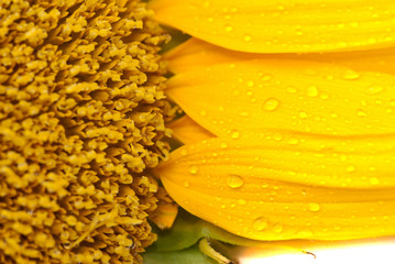 close-up sunflower with water drops