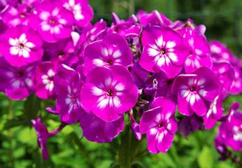 Lilac phlox.