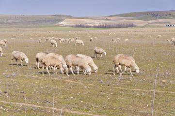 Rebaño de ovejas en explotación extensiva