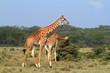 Rothschild giraffe in Kenya