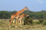 Rothschild giraffe in Kenya