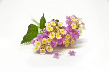 fiore estivo delicato, Lantana