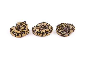 Three baby Ball or Royal Pythons, Firefly morph, in a row on whi
