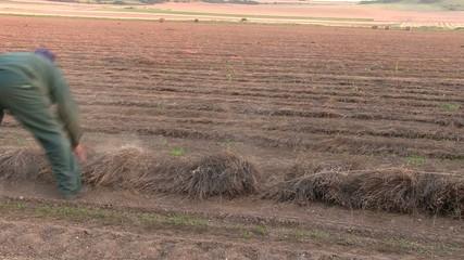 ouvrier agricole recolte du lin