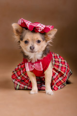 Chihuahua puppy wearing Scotland chequered kilt and beret