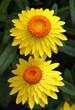 canvas print picture - Helichrysum, Strohblume