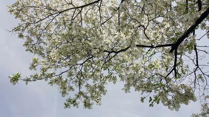 White dogwood branch