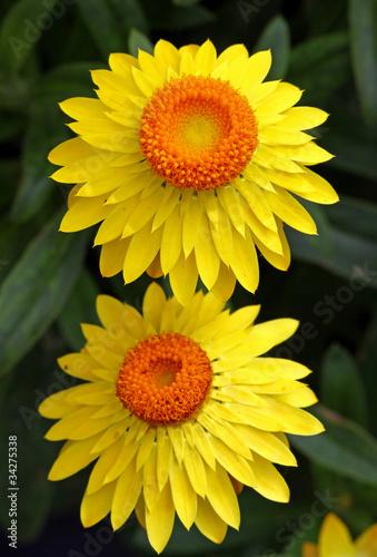 canvas print picture Helichrysum, Strohblume
