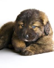 Caucasian mastiff puppy