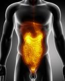 Anatomy of abdomen poster