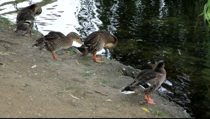 Ducks preening by a river.