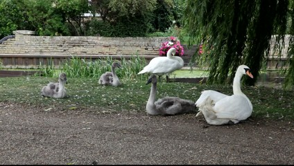 Swans preening themselves on a river bank.