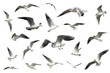set of white flying birds isolated. gulls