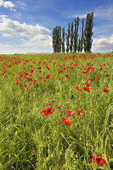Poppies in barley field with trees in background