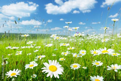 field of summer flowers © Iakov Kalinin