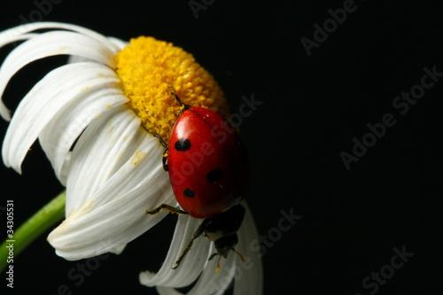 Leinwanddruck Bild summer ladybug