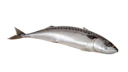 Single fresh mackerel fish