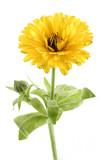 Soucis- plante médicinale  et comestible poster