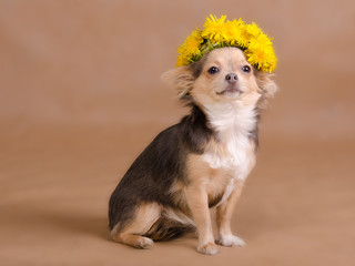 Portrait of a chihuahua puppy wearing wreath of dandelion