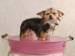 Chihuahua puppy taking a bath standing in pink bathtub